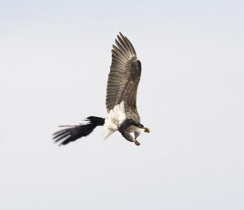 bald eagle_3