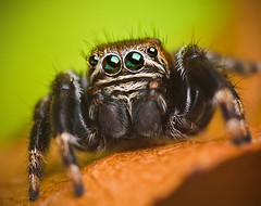Jumping spider - Evarcha arcuata (Set of pictures) (Lukjonis) Tags: portrait macro green nature beautiful canon photography spider photo jumping eyes colours spiders canoneos20d lukas colourful supermacro lithuania jumpingspider coloration lietuva canonef100mmmacrousm salticus salticidae evarcha arcuata macroextreme supershot photoshopcs3 specinsect flickraward canoneos40d jonaitis macrolife lukjonis lukasjonaitis
