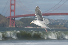 Seagul at Baker Beach Photo