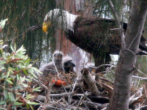 Three Chicks Visible 20100219