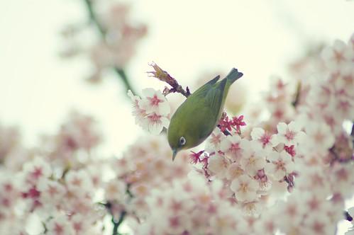 フリー画像| 動物写真| 鳥類| 野鳥| メジロ| 桜/サクラ|      フリー素材|