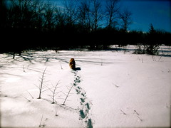 Winter Walks with Riley (Kara Allyson) Tags: trees dog sun white snow cute nature smile sunshine wisconsin goldenretriever puppy walking happy riley golden woods midwest warm day walk smooth footsteps pawprints dogwalk naturewalk wisconsinwinter snowsteps