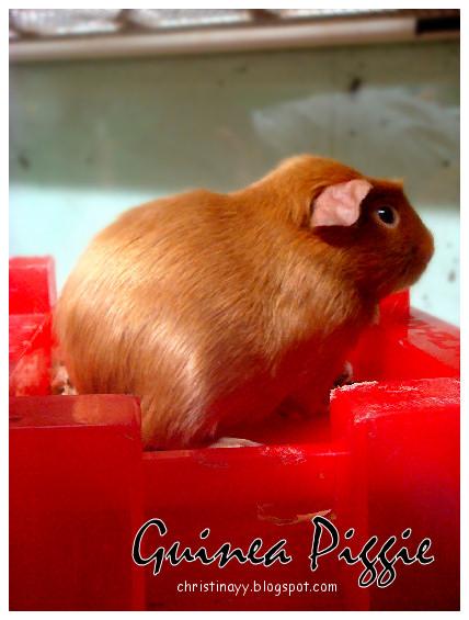 Pets Galore: Guinea Pig