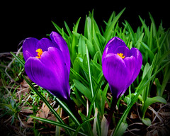 The Start of Spring (Jan Jan's) Tags: flower green nature petals purple crocus blooms 1001nights spring2010 1001nightsmagiccity