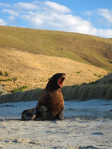Yawning Hooker's Sea Lion