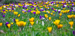 Frhling (gnu1742) Tags: spring crocus krokus frhling