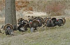 Breeding Convention (jimgspokane) Tags: birds wildlife turkeys otw gobblers tomturkeys onlythebestare naturewatcher todaysbest
