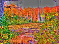 Autumn leaves in Gatineau Park, Quebec (HDR Image) (Peter Ellis) Tags: park autumn leaves image quebec gatineau hdr