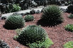 Picudos (Jos Ramn de Lothlrien) Tags: flowers cactus flores flower stone lago agua desert stones jr lirio alcatraz desierto agave tortuga rocas tortugas nopal lirios especies producciones tourtles grava tourtle