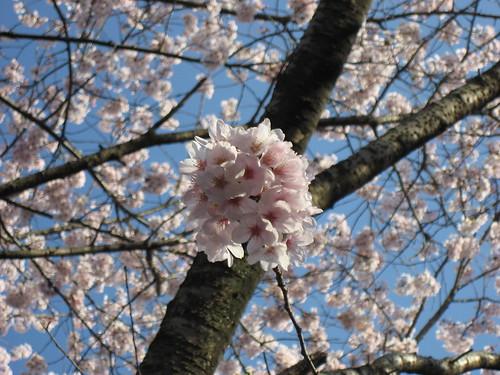 大竹 亀居公園 桜 画像 7