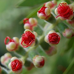Red Bottle Brush buds are unfurling and springing open (jungle mama) Tags: red usa tree spring florida miami ngc tropical myrtle bottlebrush bud 1001nights filament callistemon unfurling callistemoncitrinus myrtaceae crimsonbottlebrush naturesfinest coth bottlebrushtree macroextreme supershot lemonbottlebrush fuzzyflower mywinners abigfave platinumphoto diamondclassphotographer flickrdiamond floweropening goldstaraward excellentsflowers bottlebrushbud 100commentgroup dragondaggerphoto updatecollection beyondbokeh fleursetpaysages onlythebestofnature persephonesgarden biscayneparkflorida rosebottlebrush rosyfilament flowerfilamentunfurl bottlebrushopen bottlebrushopening rosyfilamentsunfurl