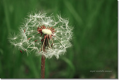 Dandelion (seyed mostafa zamani) Tags: life camera new flowers white flower color macro green art home nature colors beautiful canon nice colorful asia iran bokeh arts dandelion memory dreams iranian boke sorrow cirsium realism taraxacum     cichorieae vulgare  eos450d 450d    natvryalyst
