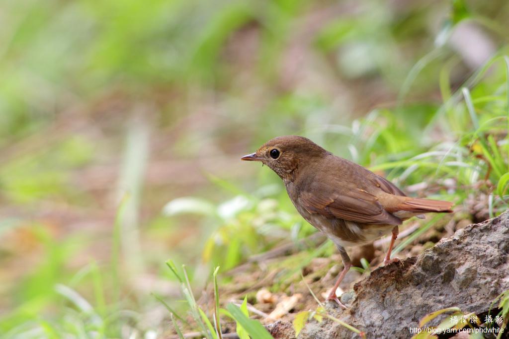 Taiwan bird 台灣 鳥
