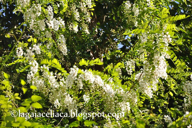 fioritura dell'acacia