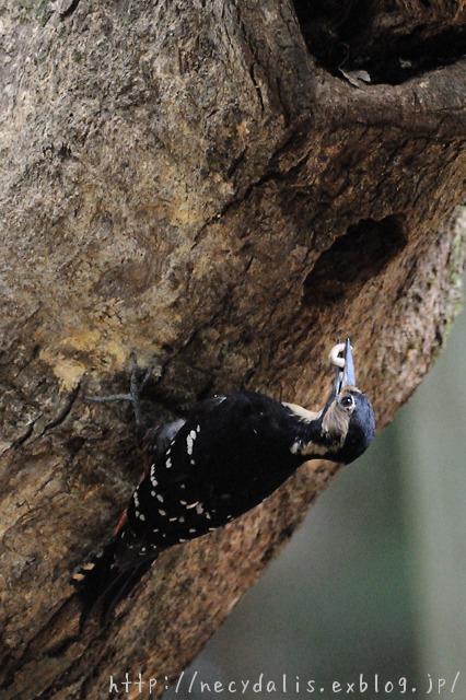 オーストンオオアカゲラ [Dendrocopos leucotos owstoni] female