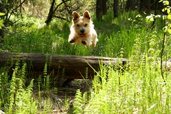 110521 - one leap of faith [explore] (*Maren*) Tags: light dog norway jump log woods forrest terrier portfolio leap kristiansand i