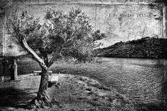 Un olivo de Portlligat (Versin B/N) (osolev) Tags: monochrome photoshop monocromo spain europe ps girona catalunya costabrava textured gerona capdecreus cs5 osolev flickraward