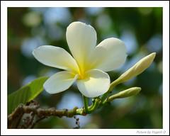 (Y-O-G-E-S-H) Tags: white flower sony dsc anand sagar h9 gardern chafa shevgao