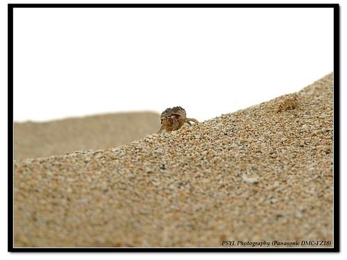 Wrinkled Hermit Crab (Coenobita rugosus) - 皺紋寄居蟹