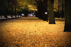 Carpet of Autumn Leaves (torode) Tags: park autumn leaves yellow japan tokyo   2009 nerima hikarigaoka    naturallyartificial bentorode benjamintorode