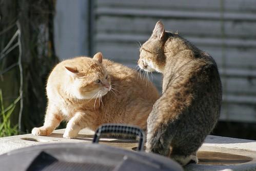 Tom Cat Dispute