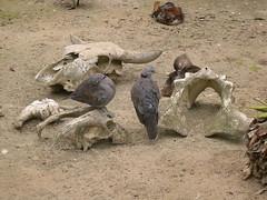 World of Birds, Hout Bay: Pigeons, duck and skulls (John Steedman) Tags: southafrica skulls duck pigeons capetown cape sdafrika houtbay worldofbirds westerncape kapstadt capepeninsula kaapstad  suidafrika    kaapseskiereiland