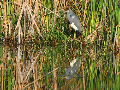 Tricolored Heron 20091227