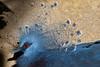 Western Crowned Pigeon (Peter Nijenhuis) Tags: bali indonesia 500d westerncrownedpigeon gouracristata ef70300mmf456isusm tamanburungbalibirdpark peternijenhuis