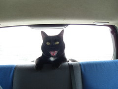 I love travelling! (Talisker bee) Tags: blackcat gatto gattonero