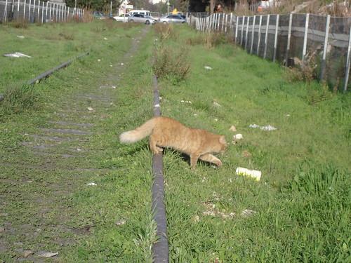 Orange cat 1
