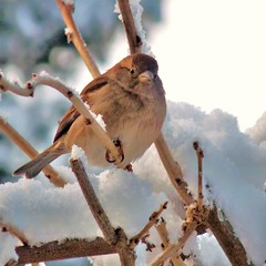 Snow again today but also sun. (Cajaflez) Tags: winter snow bird nature sneeuw natuur sparrow mus vogel theunforgettablepictures saariysqualitypictures