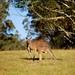 Kangaroos, Euroka Campsite