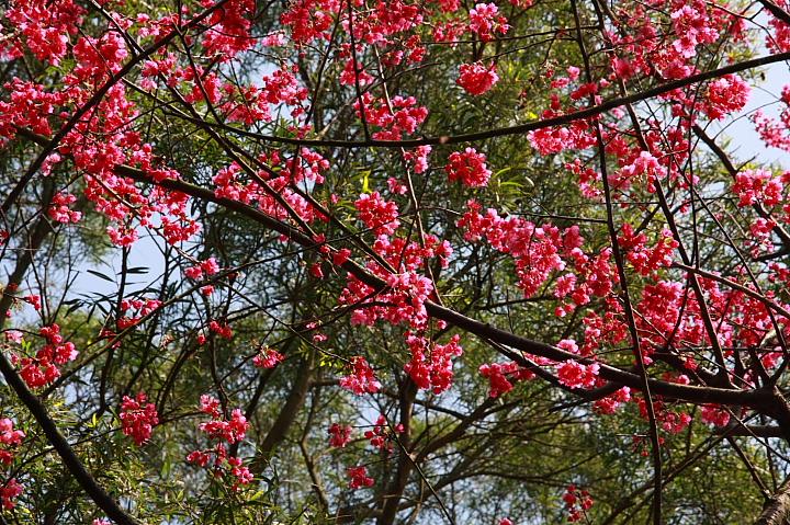 樹林大同山青龍嶺的櫻花林0017