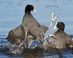 Crouching Coot Hidden Dragon (Andrew Haynes Wildlife Images ( away for a while )) Tags: bird nature fight action wildlife violence coot warwickshire avian brandonmarsh canon7d ajh2008