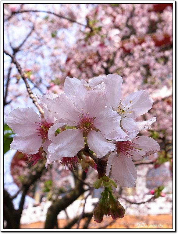 天元宮,櫻花 (30)