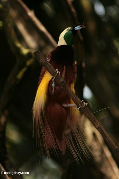 Birds of Paradise New Guinea6