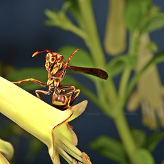 Paper Wasp on fuchsia flower 3065 (Edward Mistarka) Tags: flowers food motion nature water beautiful horizontal danger insect outdoors flying petals healthy wings soft risk wasp smooth fuchsia maryland calm hunger caution nectar daytime secure positive activity inspirational striking hazardous balanced placid hovering ecofriendly risky reliable foraging stinging paperwasp sharpfocus physis stinginginsect polistesexclamans insectflying onephotoweeklycontest environmentsafe flowerflowerfuchsia