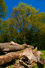 Trunks (fabbiomenna) Tags: wood trees alberi thenetherlands places trunks olanda 1224 legno luoghi tronchi nikond300 maggio2009 fabiomenna fabbiomenna nikkorafsdx1224mmf4g