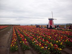 100_1171 (Smith's are Ore-Gone!) Tags: festival tulip