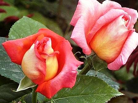 """Roses """"Eclat de Haute-Bretagne"""""""