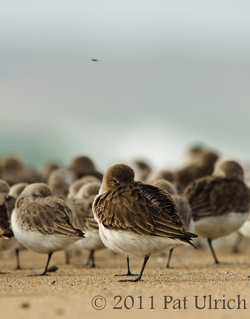 Resting Dunlin - Pat Ulrich Wildlife Photography