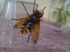 Volucela Zonaria, (Hornet mimic hoverfly)