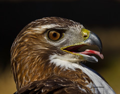 Red-tailed Hawk (Lindell Dillon) Tags: oklahoma nature hawk wildlife raptor redtailedhawk oklahomanaturepics lindelldillon wildcareoklahoma