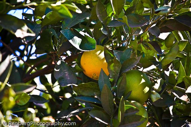 RenbergPhoto 10-16-09 Orange Groves -9