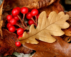 Autumn leaves and berries (Mukumbura) Tags: autumn red brown cold fall home nature leaves scarlet garden gold leaf cool oak october rust warm colours berries sunday rustic warmth hazel chestnut veins colourful windblown skimmia