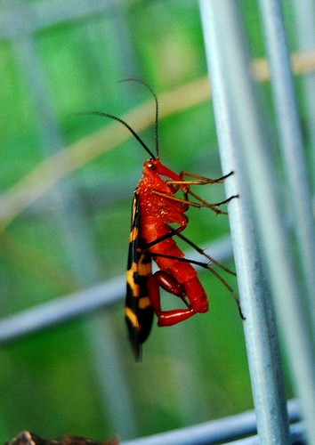 Scorpianfly