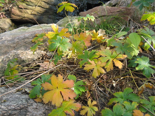 wild geranium's fall colors