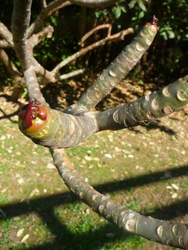 Frangipani Branch