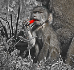 Munch! (RD Crisp Photography) Tags: red hair edinburgh panasonic bite munch edinburghzoo selectivecolouring barbarymacaque 45200mm lumixg1 vario45200mmlens