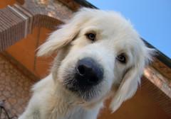 Argentario - Capoccione (adriano1281) Tags: italy dog animal cane d50 reflex nikon italia toscana animali animale cucciolo muso maremma argentario maremmano musone capoccione